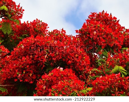 Beautiful clusters with colorful flowers of flamboyan tree - stock photo