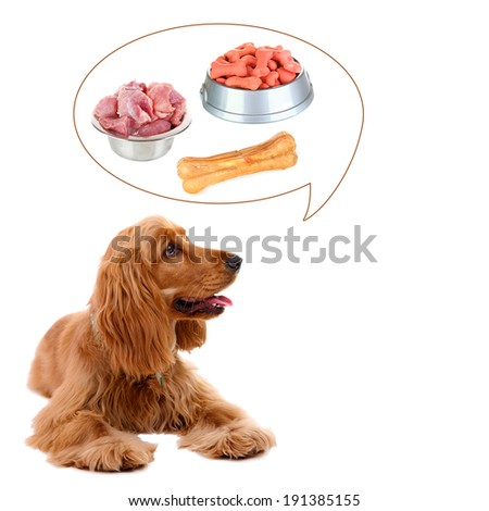 Beautiful cocker spaniel dreaming of delicious food, isolated on white - stock photo
