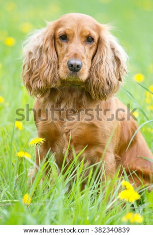 Beautiful cocker spaniel on the green grass