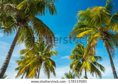 Beautiful coconut palm trees in the Florida Keys. - stock photo