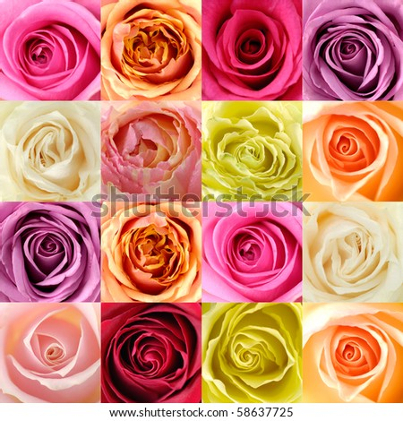 beautiful collage of Soft roses center - stock photo