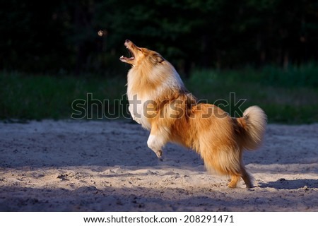 Beautiful collie dog jumping up the subject with an open mouth on a dark background - stock photo