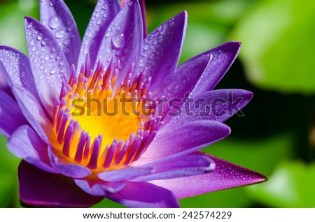Beautiful color and water drops on purple Lotus or Water Lily flower - stock photo