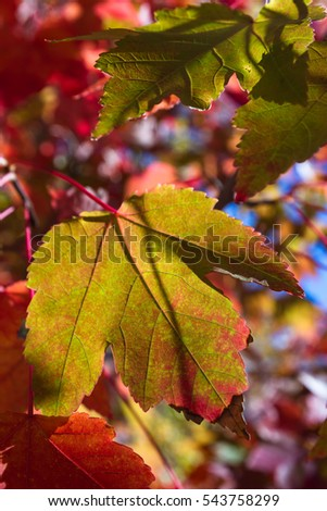 beautiful color changing grape leaves at a vineyard in California, close up with a side angle lens