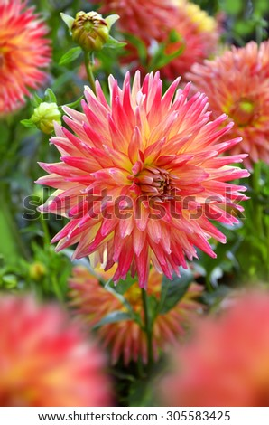 beautiful color dalhia flowers blooming in summer garden - stock photo