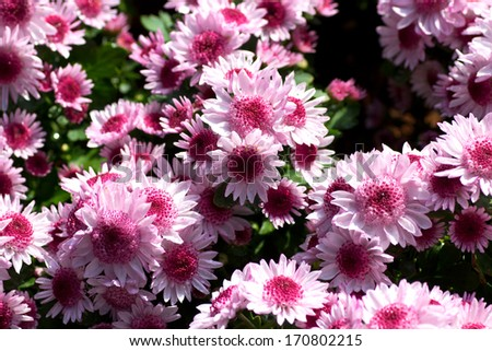 Beautiful color of flower in garden. - stock photo