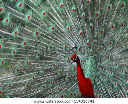beautiful colored peacock in the zoo photo montage red and green - stock photo
