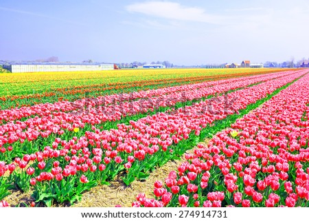 Beautiful colored tulip fields in the countryside from the Netherlands - stock photo