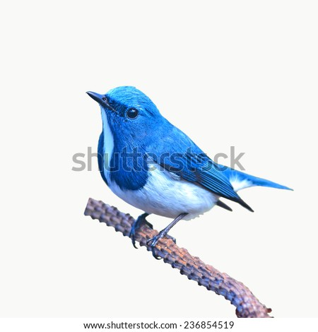 Beautiful colorful bird (Ultramarine flycatcher) perching on a branch on white background - stock photo