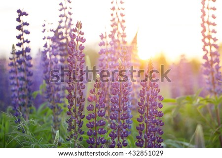 Beautiful colorful blooming lupine flower on blure green background. Ladybug on blue lupine flower commonly known as lupin or lupine. Sunset is in the flower field