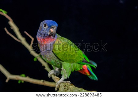 beautiful colorful blue headed parrot sitting on a branch - stock photo