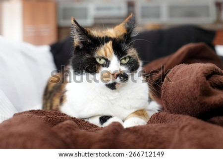 Beautiful, colorful calico cat