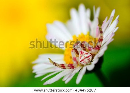 Beautiful, colorful camouflaged crab spider waiting for its prey on a white flower - stock photo