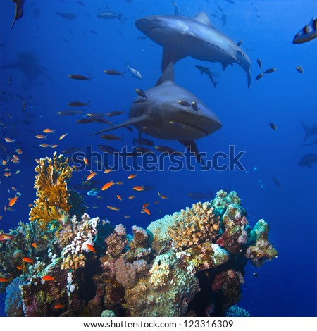 beautiful colorful coral reef and big dangerous aggressive sharks - stock photo