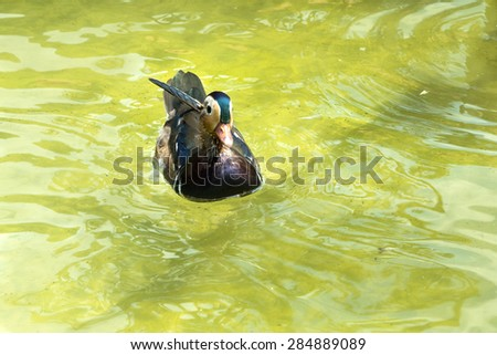 Beautiful colorful duck on water. - stock photo