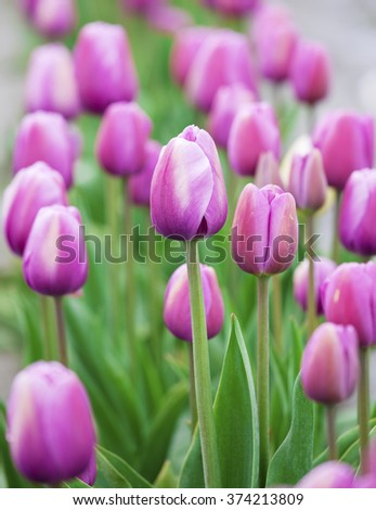 Beautiful colorful field of pink, purple tulips. Focus on center tulip bloom - stock photo