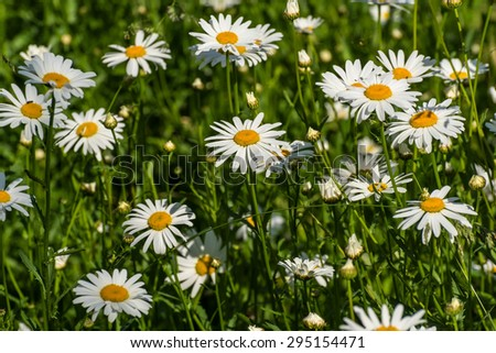 Beautiful colorful floral background of white camomile flowers in a meadow on a sunny day