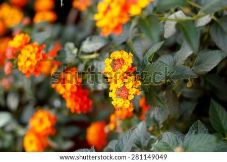 Beautiful Colorful Hedge Flower, Weeping Lantana, Lantana camara Linn - stock photo