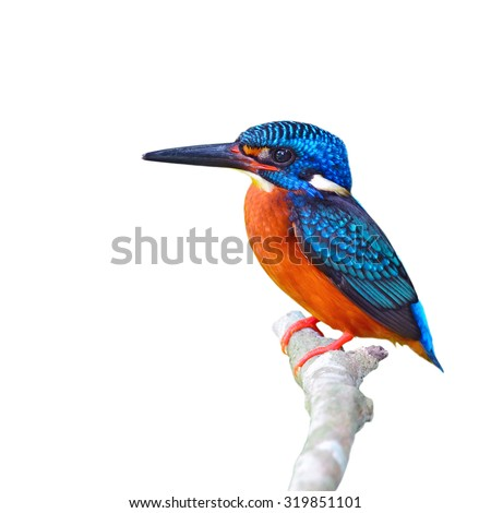 Beautiful Colorful Kingfisher bird, male Blue-eared Kingfisher (Alcedo meninting), standing on a branch on white background - stock photo