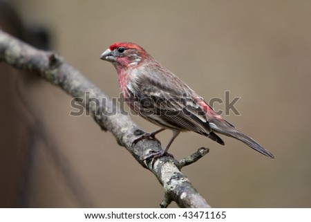 Beautiful colorful male House Finch on limb with moss and lichens - stock photo