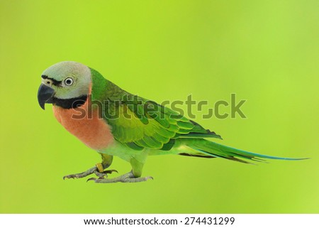 Beautiful colorful parrot, Female Red-breasted Parakeet (Psittacula alexandri) - stock photo