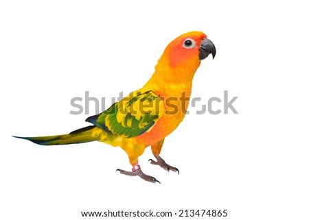 Beautiful colorful Sun Conure parrot bird isolated on white background - stock photo