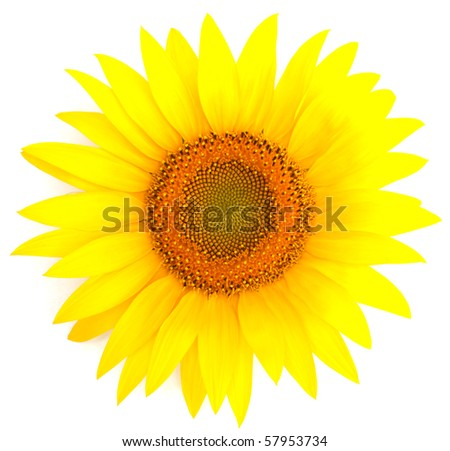 Beautiful colorful sunflower on a white background - stock photo
