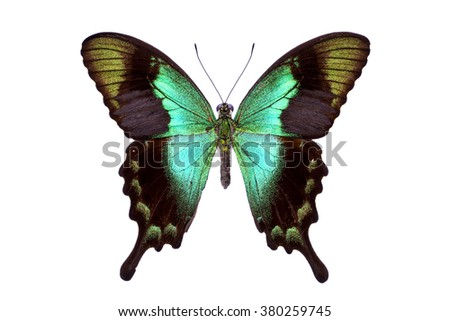 Beautiful colorful tailed butterfly with dark cyan wings isolated on white. Papilio, Palinuris. - stock photo