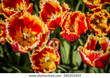 Beautiful colorful tulips in the green park in spring - stock photo