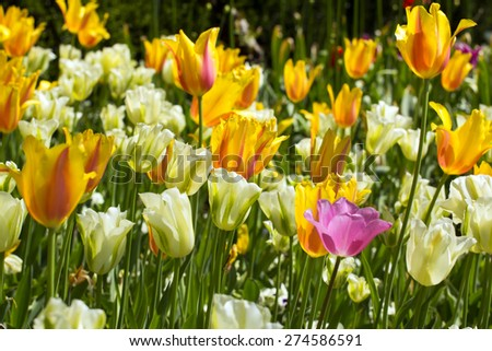 Beautiful colorful tulips on spring meadow. - stock photo