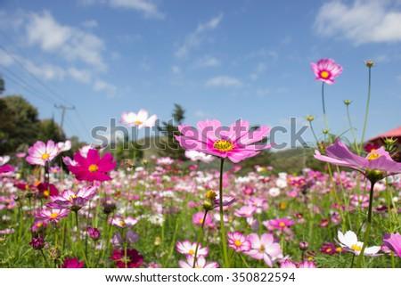 Estilos de vida de Houston & amp; Houston Gardens puede mostrar Texas Pride - Cinco flores coloridas que usted puede disfrutar de este otoño - Houston Estilos de vida & amp; Revista de casas
