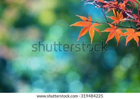 Beautiful colors of autumn. Red Japanese maple with blue green bokeh background. Colorful spectrum of autumn colors. Shallow depth of field. - stock photo