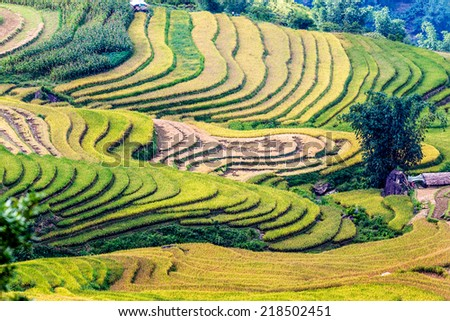 Beautiful colors of ripen rice terraces at harvest time. Location: Y Ty, Lao Cai province, Vietnam.  - stock photo