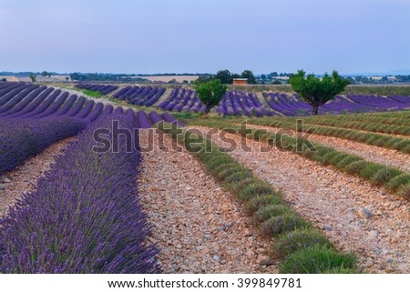 Beautiful colors purple lavender fields near Valensole, Provence in France