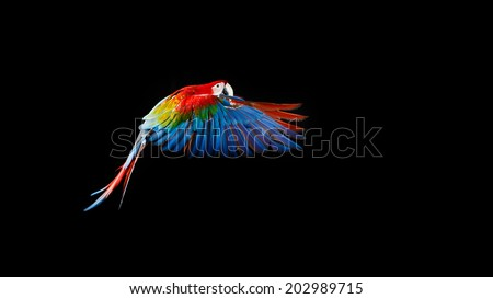 Beautiful colourful parrot, Flying Ara on a dark background - stock photo