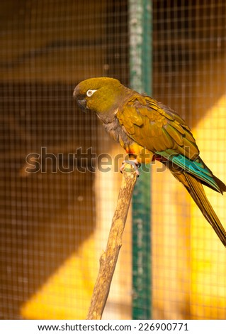 beautiful colourful parrot (patagonian conura) sitting on his branch