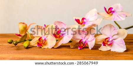 beautiful composition of blooming twig orchid flower, phalaenopsis on wooden background, panorama  - stock photo