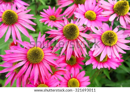 Beautiful Cone flowers, Echinacea in garden - stock photo
