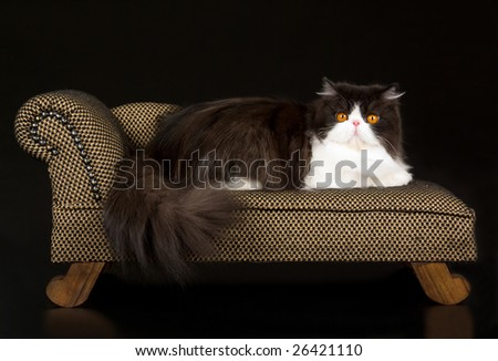 Beautiful copper-eyed black and white Persian lying down on miniature brown chaise sofa couch on black background - stock photo