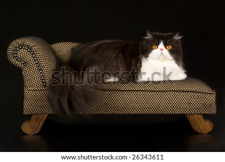 Beautiful copper eyed black and white Persian lying on miniature brown chaise sofa couch on black background - stock photo