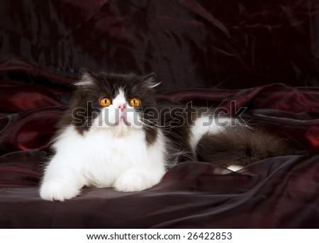 Beautiful copper eyed black and white Persian lying on shiny burgundy organza background - stock photo