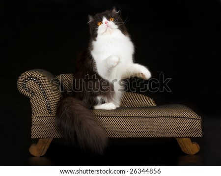 Beautiful copper eyed black and white Persian standing up on miniature brown chaise sofa couch on black background - stock photo