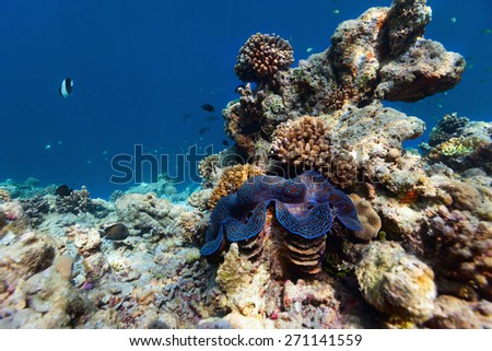 Beautiful coral reef and a giant blue clam underwater at Maldives - stock photo