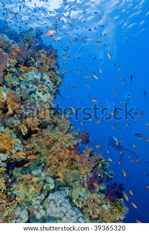 Beautiful coral reef with diver - stock photo
