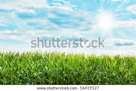 Beautiful Corn plants field with a nice blue pastel sky - stock photo