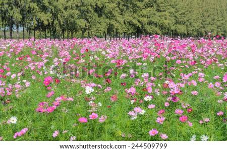 Beautiful cosmos flower field - stock photo