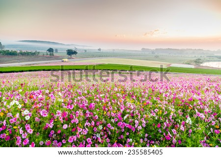 Beautiful Cosmos Flower in park - stock photo