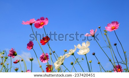 Beautiful cosmos flowers and Blue sky. - stock photo