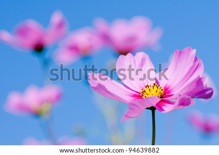 Beautiful Cosmos flowers on sky background - stock photo
