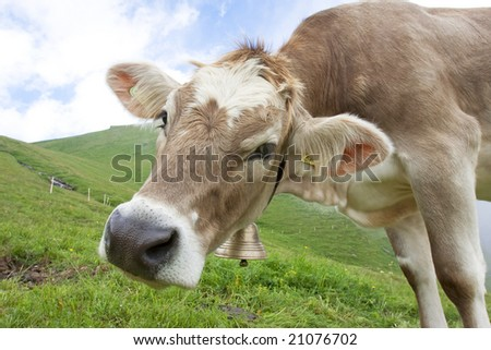 beautiful cow in swiss alps - stock photo